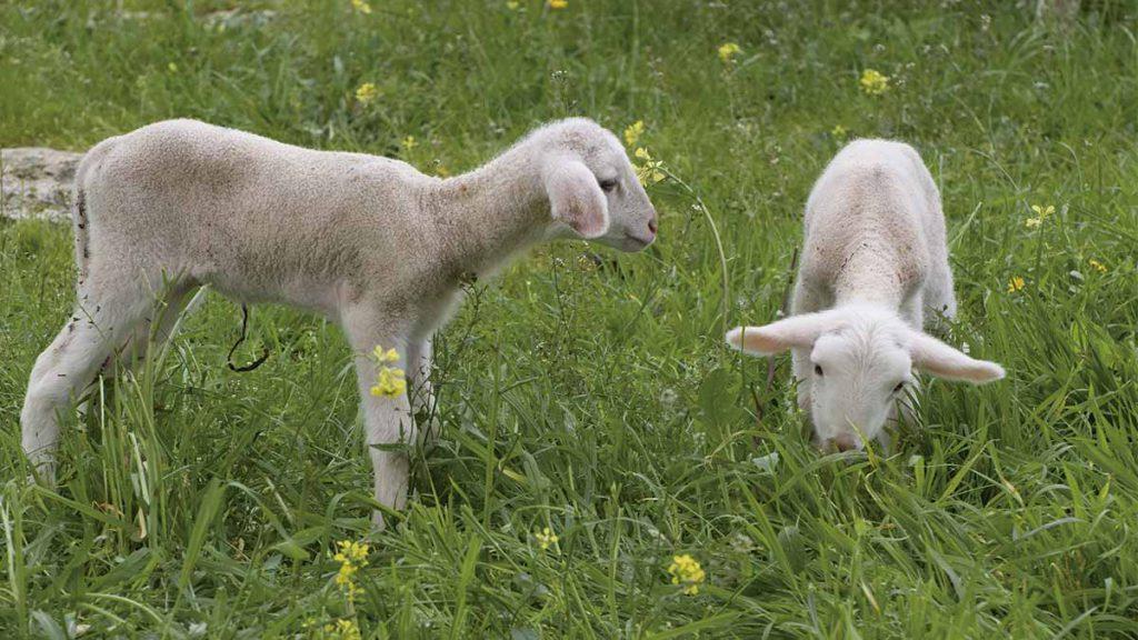 ovejas de ibiza